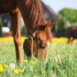 Chestnut horse eating grass at the field — Stock Photo #13207156
