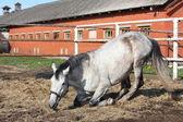 Grå häst liggande på marken — Stockfoto