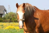 Beautiful palomino draught horse portrait — Stock Photo