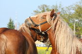 Two palomino draught horses playing — Stock Photo