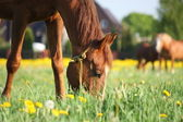 Chestnut horse eating grass at the field — Stock Photo