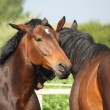 Two brown horses nuzzling each other — Stock Photo