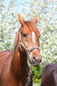 Portrait of chestnut horse with blooming tree at the background — Stock Photo