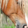 Stock Photo: Palomino horse head close up