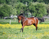 Beautiful latvian breed horse running at the the field — Stock Photo