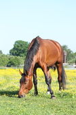 Bay horse eating grass in summer — Stock Photo