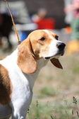 İngilizce beagle portre güneşli — Stok fotoğraf
