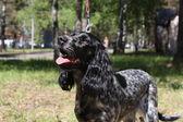 Russian spaniel portrait in summer — Stock Photo