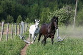 White and black horses running at the field — Stock Photo