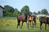 Brown horse trotting at the pasture — Stock Photo