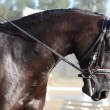 Beautiful sport horse portrait during dressage test - Stock Photo