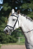 Beautiful sport horse portrait during dressage test — Stock Photo