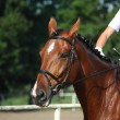 Stock Photo: Bay horse portrait during dressage show