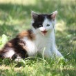 Tricolor kitten sitting on the grass meowing — Stock Photo