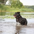 Happy swiss mountain dog crossbreed running in the water — Foto de Stock
