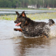 Happy swiss mountain dog crossbreed running in the water - Stock Photo