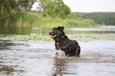 Happy swiss mountain dog crossbreed running in the water — Stock Photo
