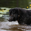 Sennenhund crossbreed lookin at the dark water — Stock Photo