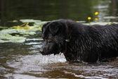 Sennenhund crossbreed lookin at the dark water — Stock Photo