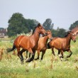 Stock Photo: Horse herd running free at field