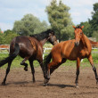 Two horses playing with each other — Stockfoto