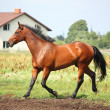 Brown horse trotting at the field - Stock Photo