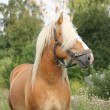 Beautiful palomino draught horse portrait - Stock Photo