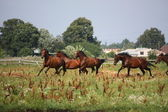 Horse herd running free at the field — Stock Photo