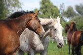 Ritratto di due cavalli — Foto Stock