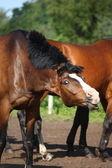 Bay horse shaking its mane — Stock Photo