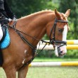 Palomino pony portrait during equestrian competition — Stock Photo