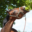 Bay latvian breed horse eating tree leaves - Stock Photo