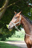 Bay latvian breed horse eating tree leaves — Stock Photo
