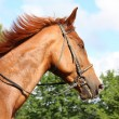 Chestnut horse portrait with bridle — Stock Photo #20950781