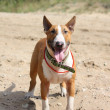 Stock Photo: Red and white bull terrier standing at beach