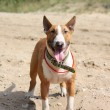 Red and white bull terrier standing at beach — Stock Photo #20952801
