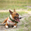 Friendly english bull terrier resting on the ground — Stock Photo