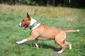 Red and white bull terrier running at the field — Stock Photo