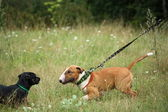 Bull terrier trying to attack black dog — Stock Photo