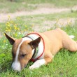 Stock Photo: Friendly english bull terrier resting on ground