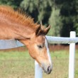 Chestnut foal standing near the pasture fence — Stock Photo #22688649