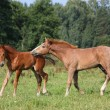 Two foals playing together at the pasture - Stock Photo