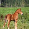 Stock Photo: Beautiful chestnut foal portrait in summer