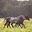 Horse herd running free on pasture — Stock Photo