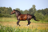 Beautiful bay horse galloping at the pasture — Stock Photo
