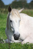 Gray horse sleeping at the pasture — Foto Stock