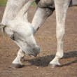 Stock Photo: Beautiful gray horse bowing down in summer