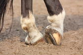 Horse hoofs with horseshoe close up — ストック写真