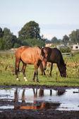 Dva koně, stojící u vody na pastvině — Stock fotografie
