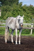 Funny gray horse yawning portrait — Stock Photo